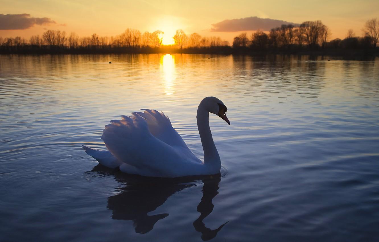Photo wallpaper the sun, lake, bird, romance, Swan