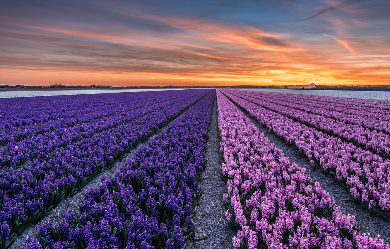 Photo wallpaper field, sunset, flowers, the evening, town, Netherlands, province, North Holland, Callantsoog