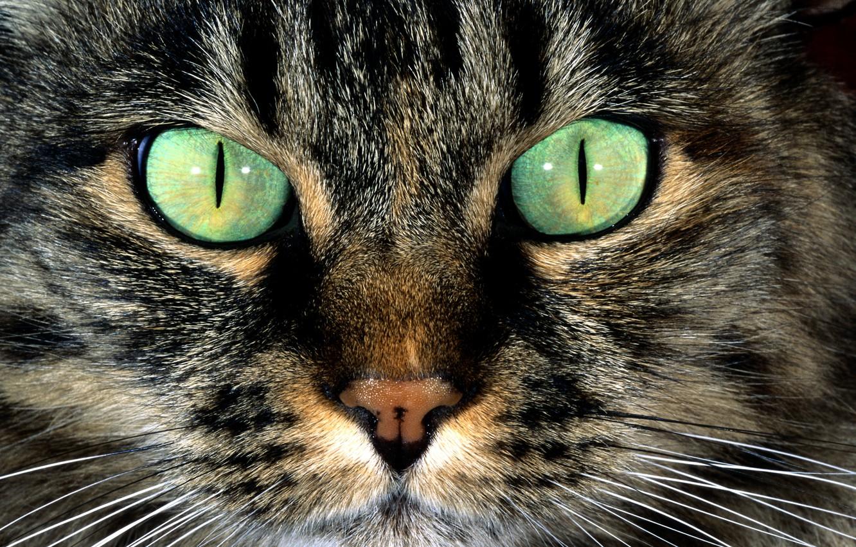 Photo wallpaper cat, eyes, cat, mustache, face, wool, nose, green, striped, spot color
