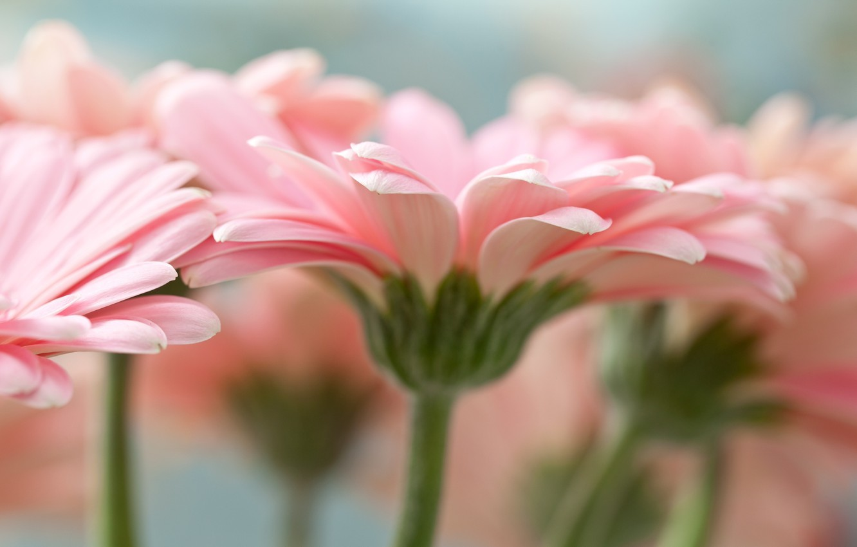 Photo wallpaper macro, flowers, petals, pink, gerbera