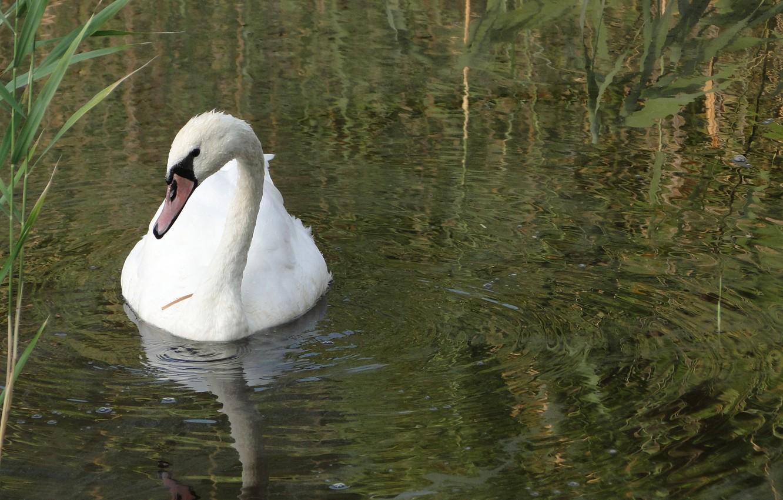 Photo wallpaper water, lake, bird, reed, Swan, Akela White