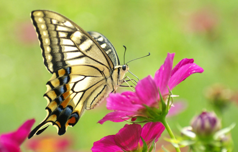 Photo wallpaper flower, macro, pink, butterfly, beautiful, yellow, butterfly, beauty, colorful