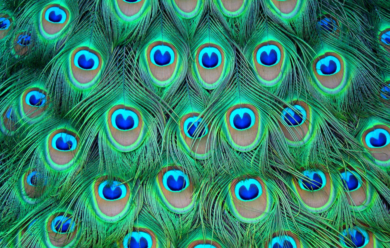 Photo wallpaper colored, feathers, peacock