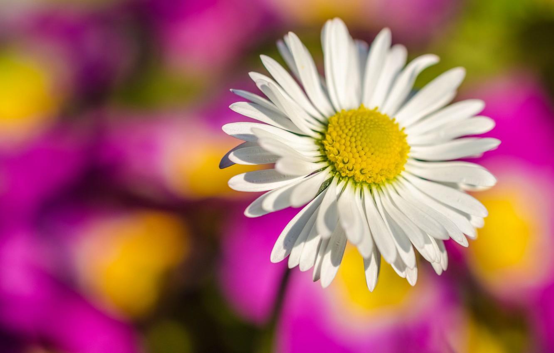 Photo wallpaper flower, paint, petals, Daisy