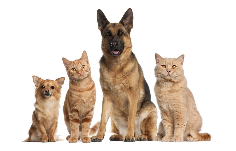 Photo wallpaper cats, dog, friendship, white background, red, company, dog, friends, little, shepherd, German, Wallpaper from lolita777