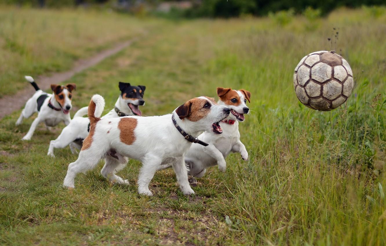 Photo wallpaper dogs, football, sport, the ball, friends