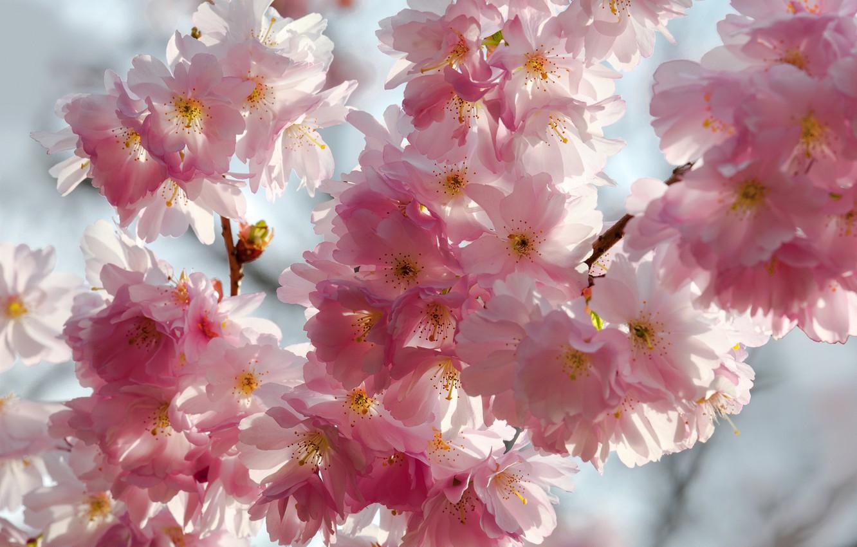 Photo wallpaper the sky, macro, flowers, branches, cherry, beauty, spring, petals, Sakura, gentle, pink, white, white, buds, …