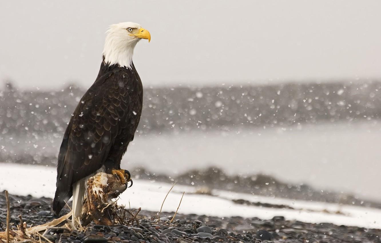 Photo wallpaper snow, stones, bird, eagle, root, stump, bald eagle