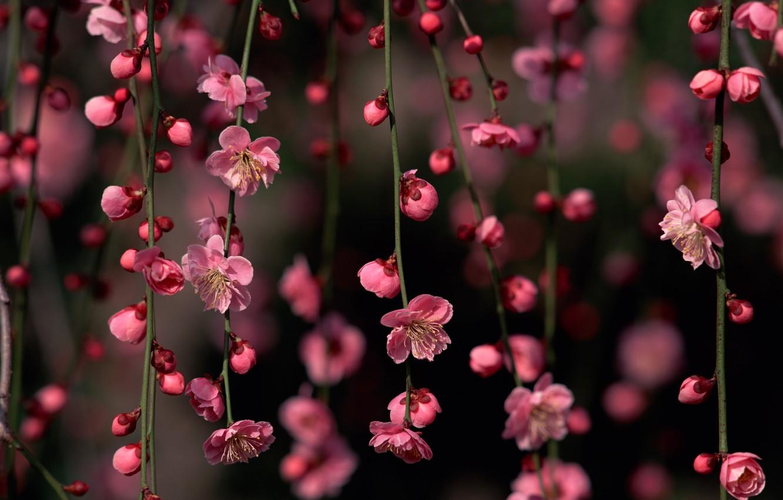 Photo wallpaper flowers, branches, Sakura, buds
