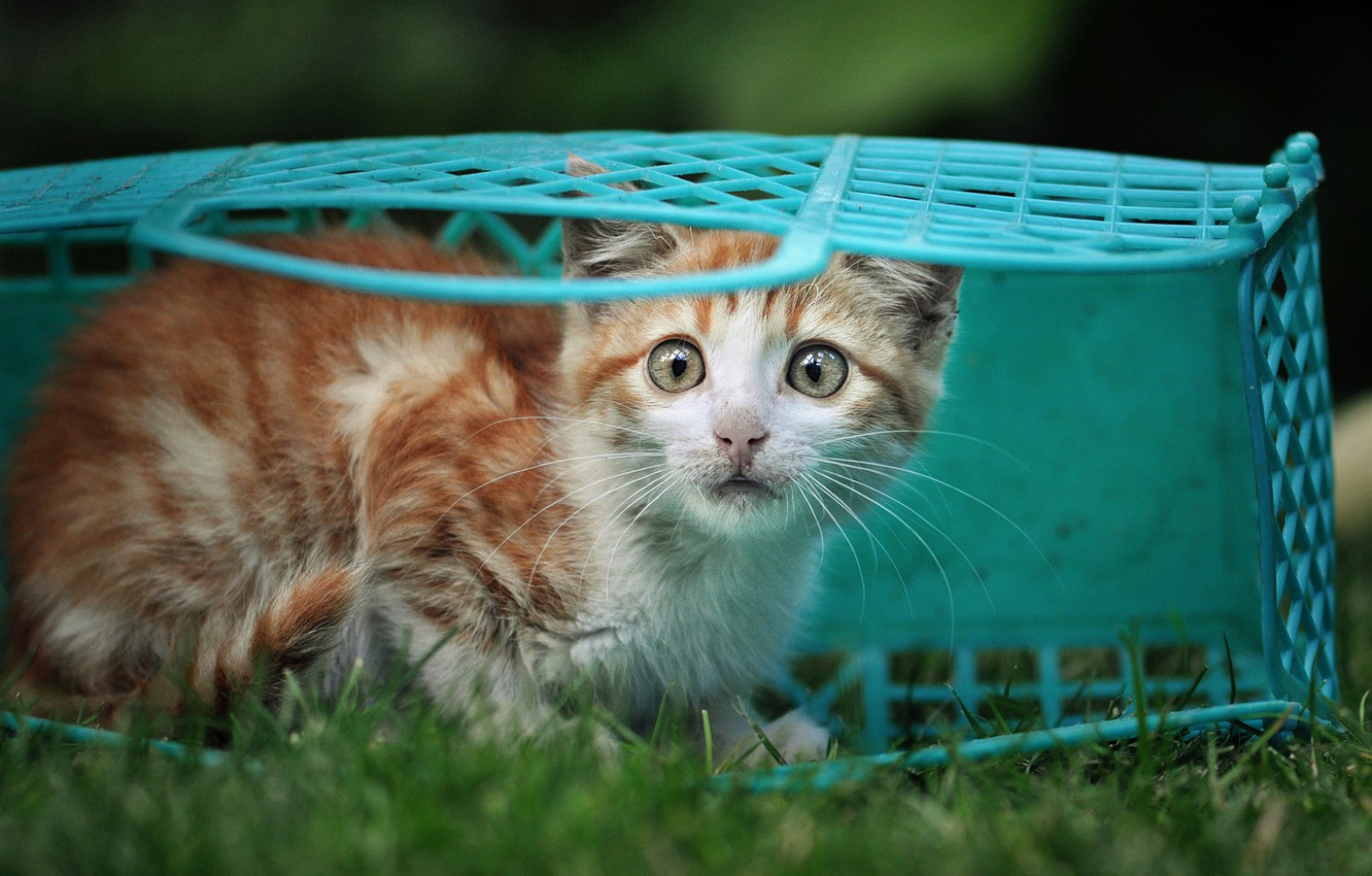 Photo wallpaper grass, look, basket, red, kitty, blue, scared