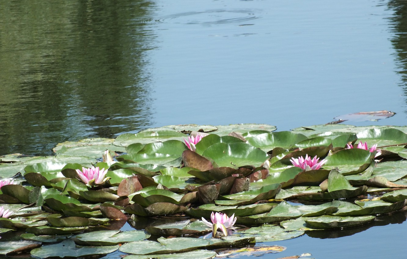 Photo wallpaper leaves, water, pond, Lily