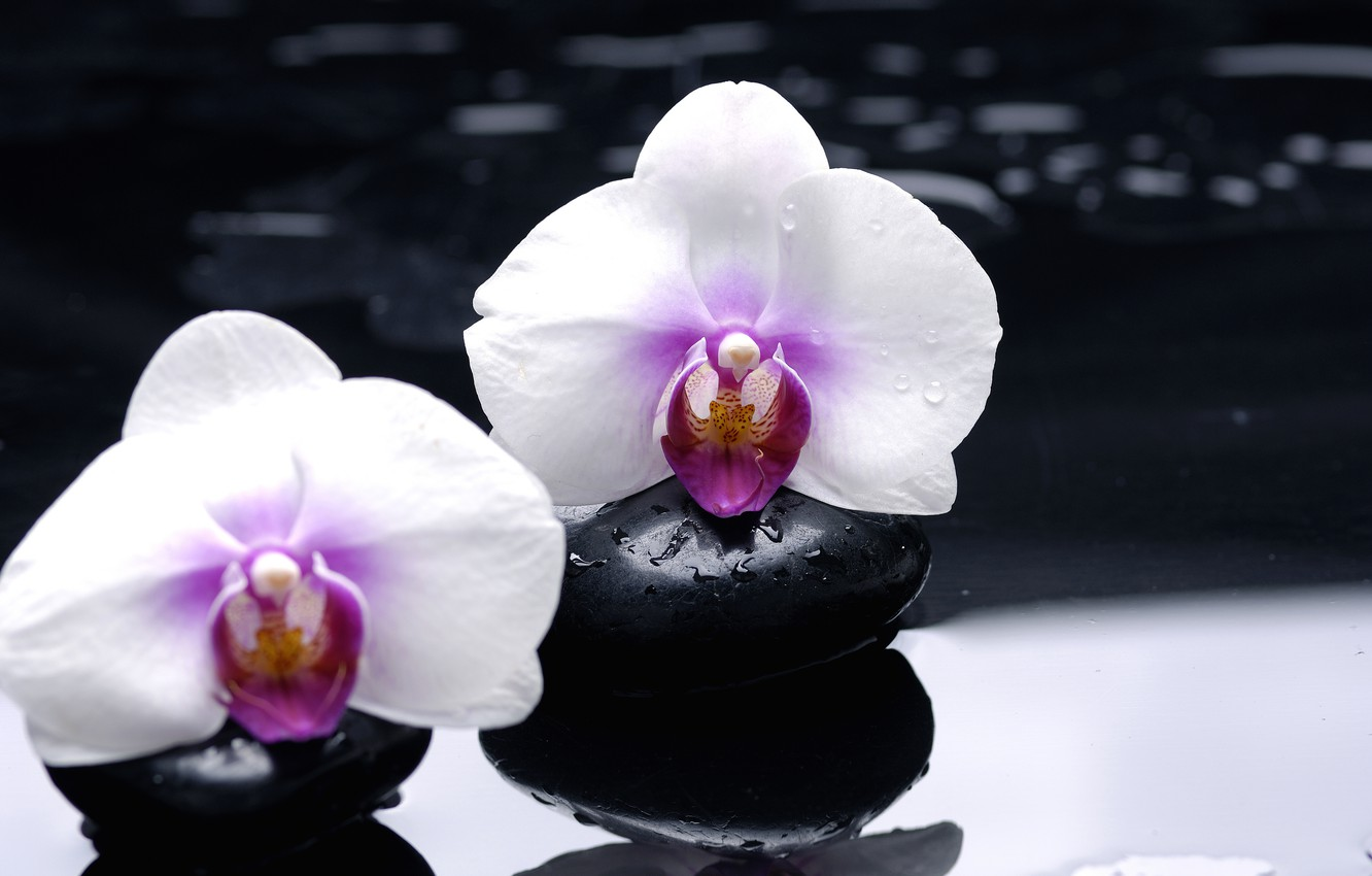 Photo wallpaper flowers, reflection, stones, white, orchids, black, smooth