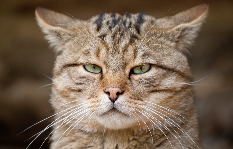 Photo wallpaper look, face, wild cat, European cat