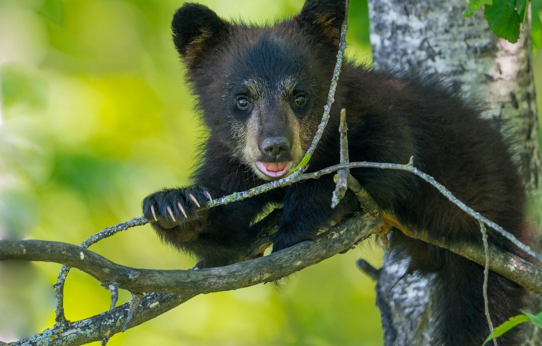 Photo wallpaper tree, branch, bear, bear, cub, baribal