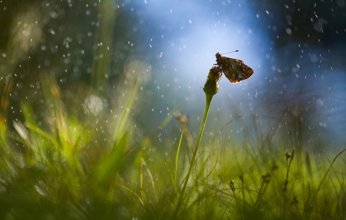 Photo wallpaper field, grass, drops, glare, rain, dandelion, butterfly