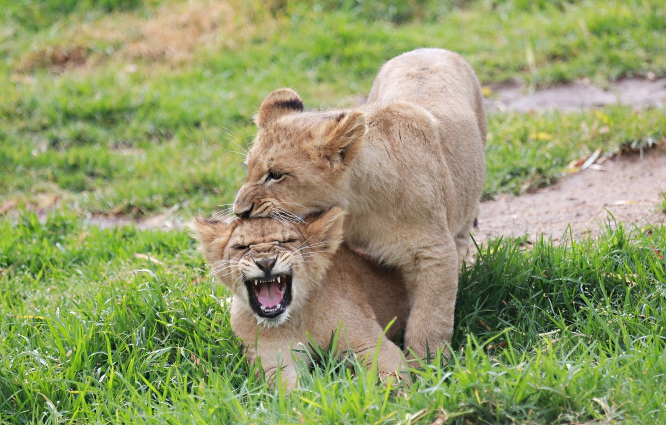 Photo wallpaper the game, fight, mouth, pair, kittens, kids, the cubs, cubs
