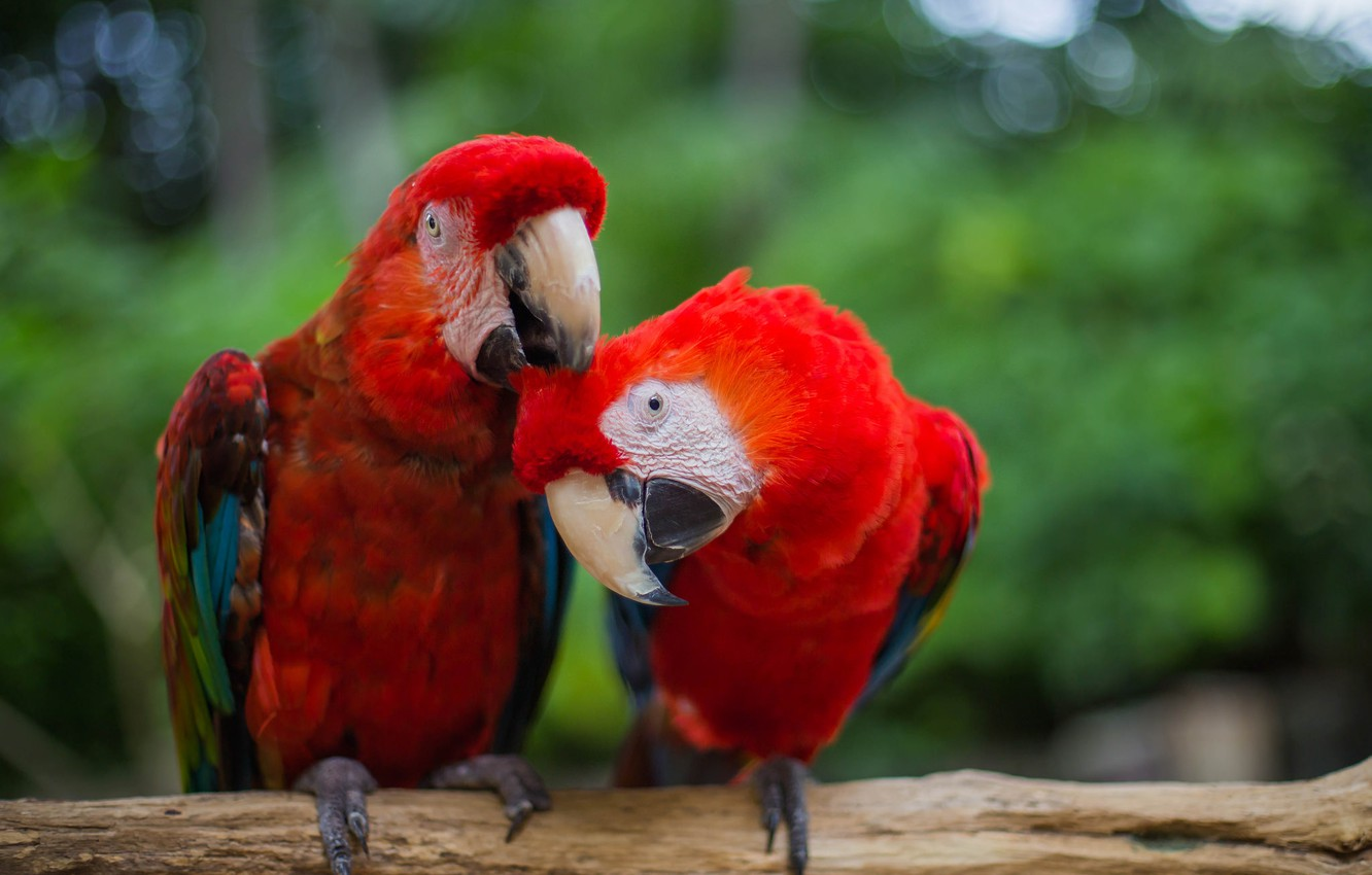 Photo wallpaper bird, feathers, red, parrots