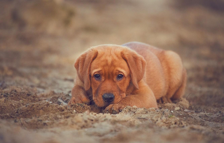 Photo wallpaper sand, look, dog, puppy, Labrador Retriever