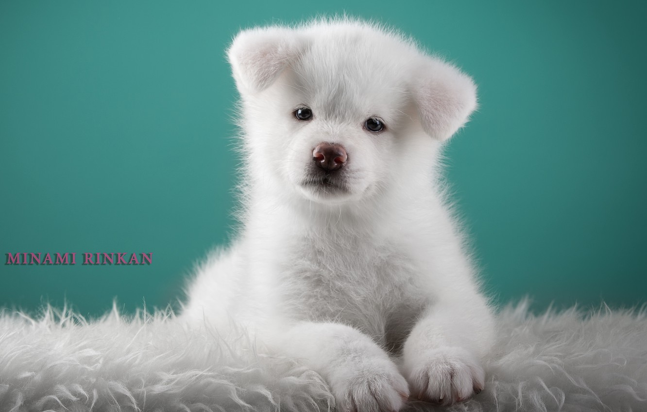 Wallpaper White Cute Puppy Japanese Akita Images For Desktop Section Sobaki Download