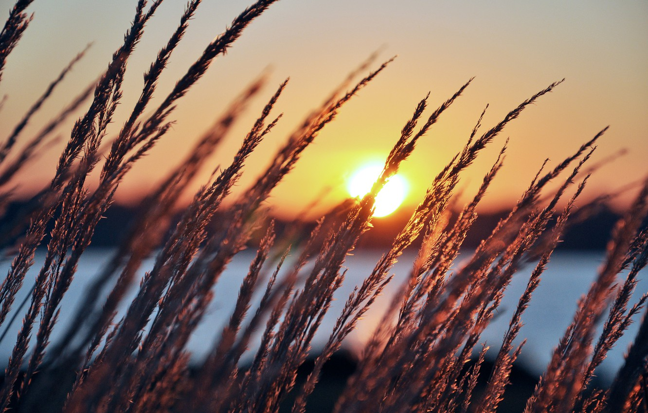 Photo wallpaper grass, the sun, nature, river, dawn, plants, spikelets, ears, sunrise, early in the morning, perfect …