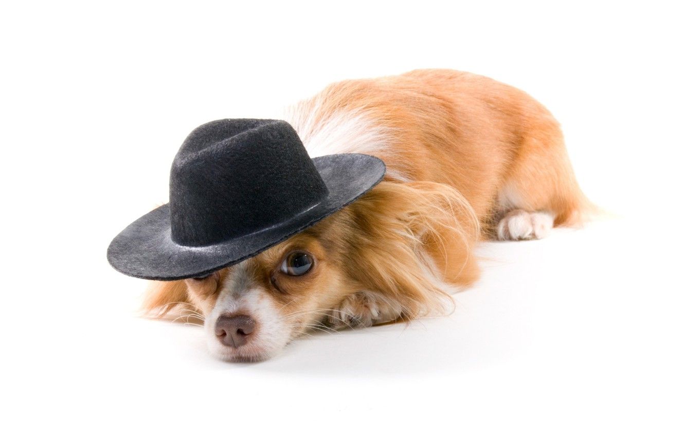 Photo wallpaper dog, hat, white background, red