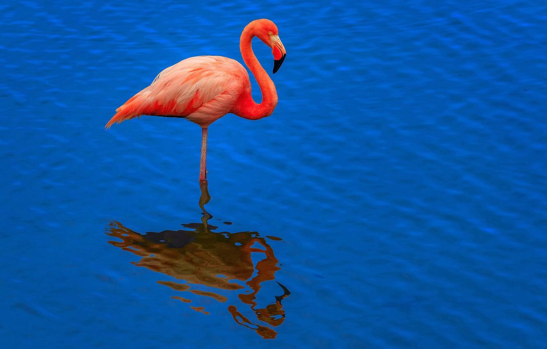 Photo wallpaper water, reflection, bird, ruffle, Flamingo