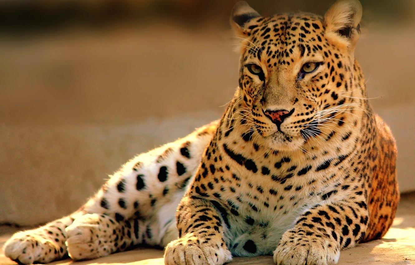 Photo wallpaper cat, predator, leopard, lies