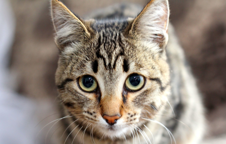 Photo wallpaper cat, eyes, look, nose, ears