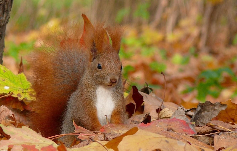 Photo wallpaper autumn, leaves, protein, squirrel