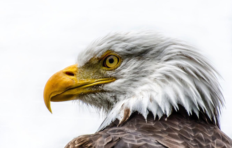 Photo wallpaper bird, feathers, beak, bald eagle