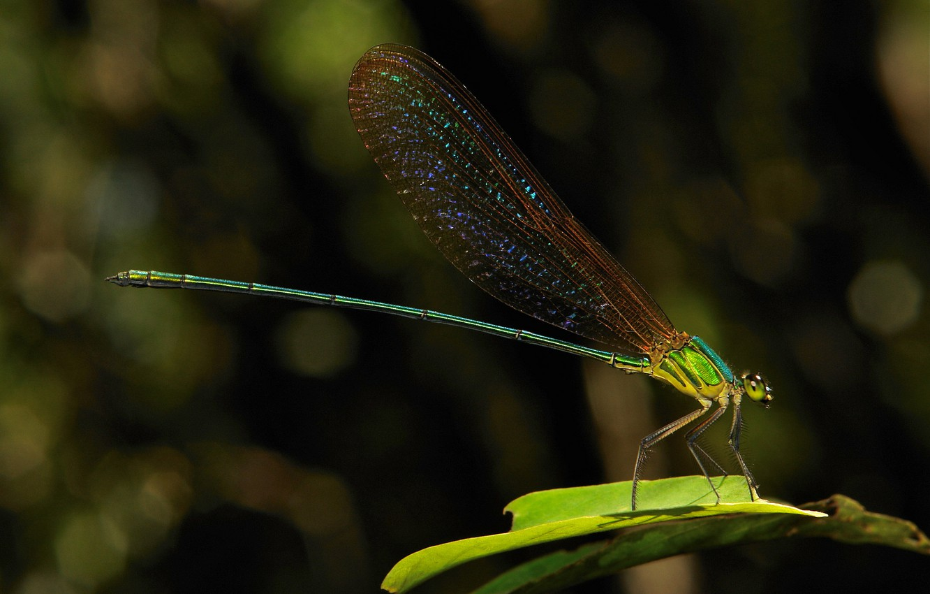 Photo wallpaper dragonfly, a blade of grass, colored wings