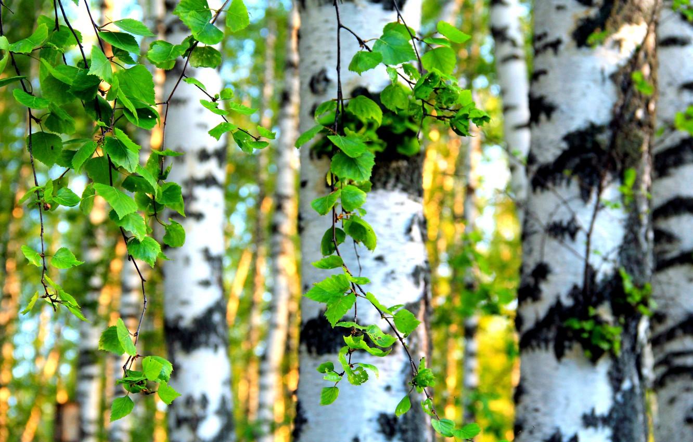 Photo wallpaper leaves, trees, birch