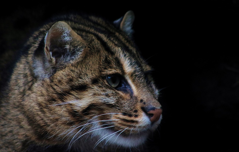 Photo wallpaper predator, wild cat, fishing cat, kot Rybolov
