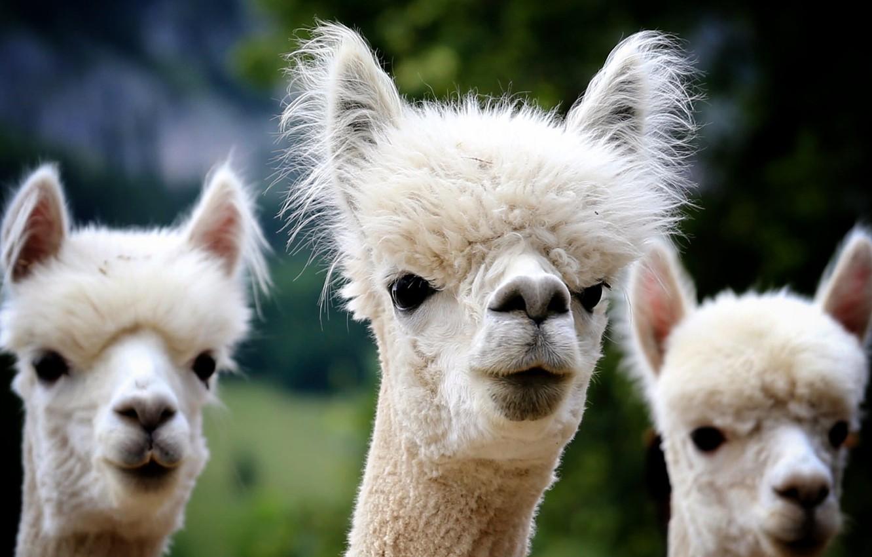 Wallpaper Animal Furry Alpaca Images For Desktop Section