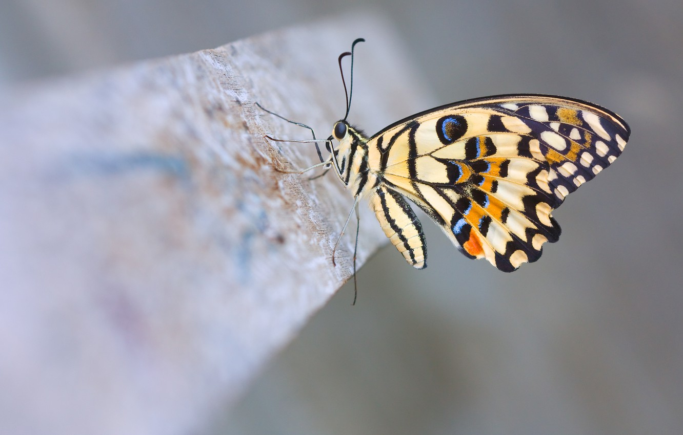 Photo wallpaper macro, butterfly, Lime Butterfly, lemon sailboat demolay