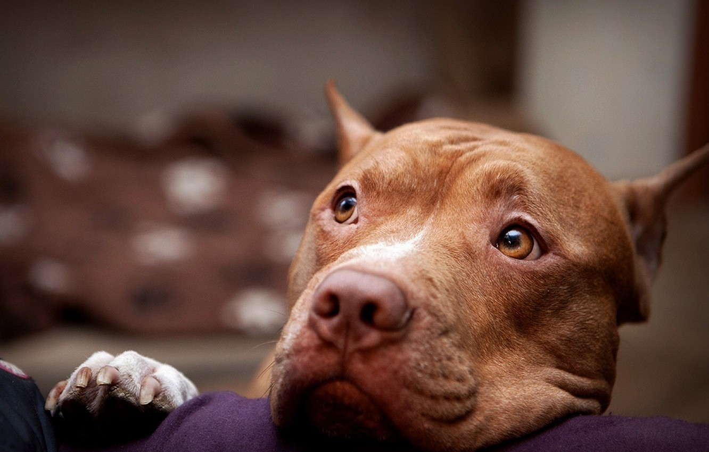Photo wallpaper eyes, face, dog, pit bull