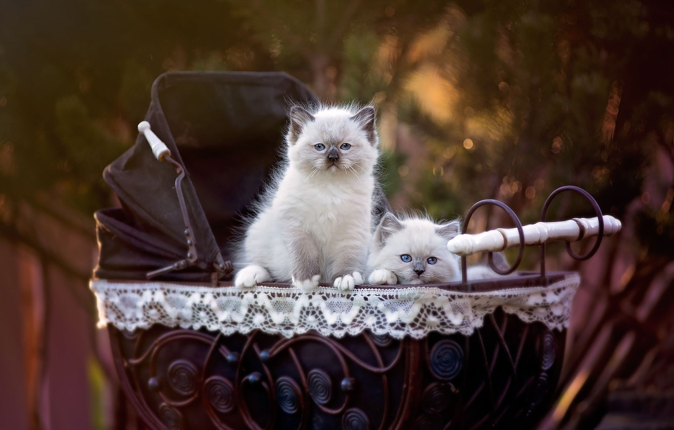 Photo wallpaper cats, nature, background, pair, kittens, stroller, two, pussies, cuties, small, blue-eyed, Siamese, ragdoll, the babies, …