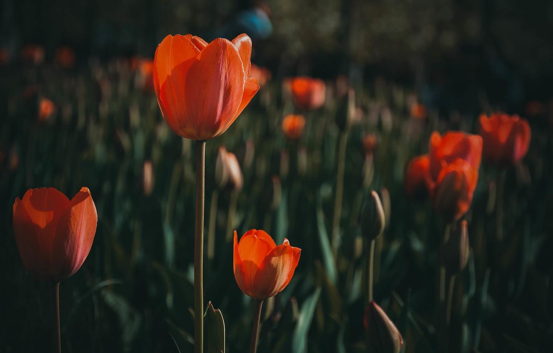 tyulpany cvety priroda peyzazh