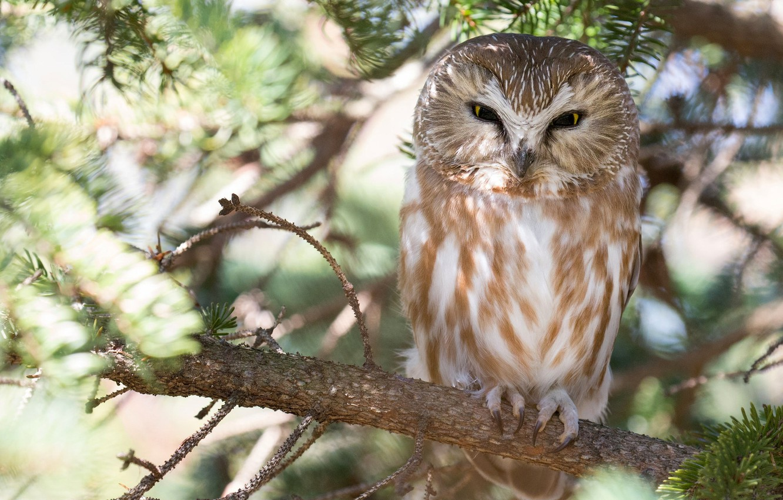 Photo wallpaper tree, owl, bird, branch, Tengmalm's owl