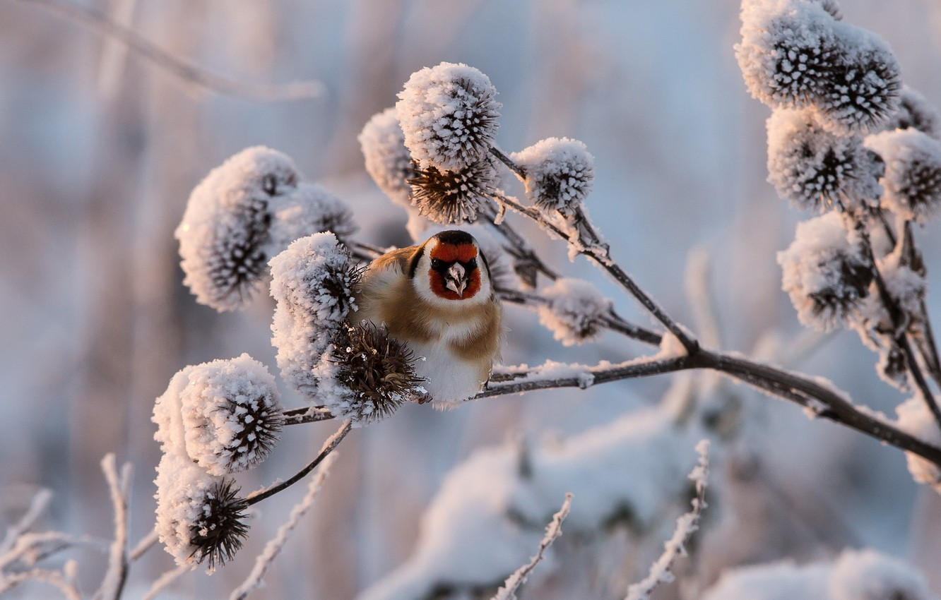 Photo wallpaper winter, snow, sprig, goldfinch, black-headed goldfinch