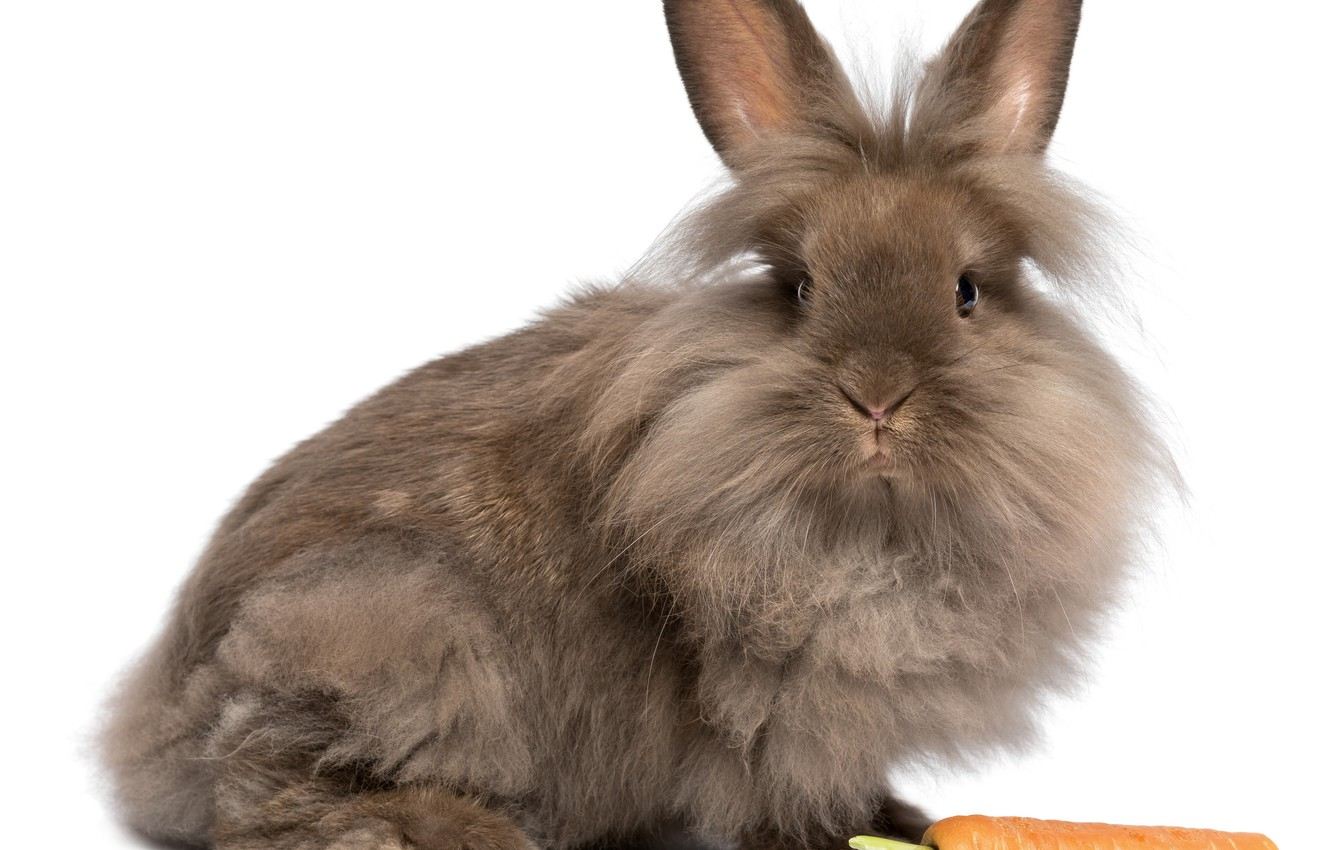 Photo wallpaper background, carrot, Bunny, friendly
