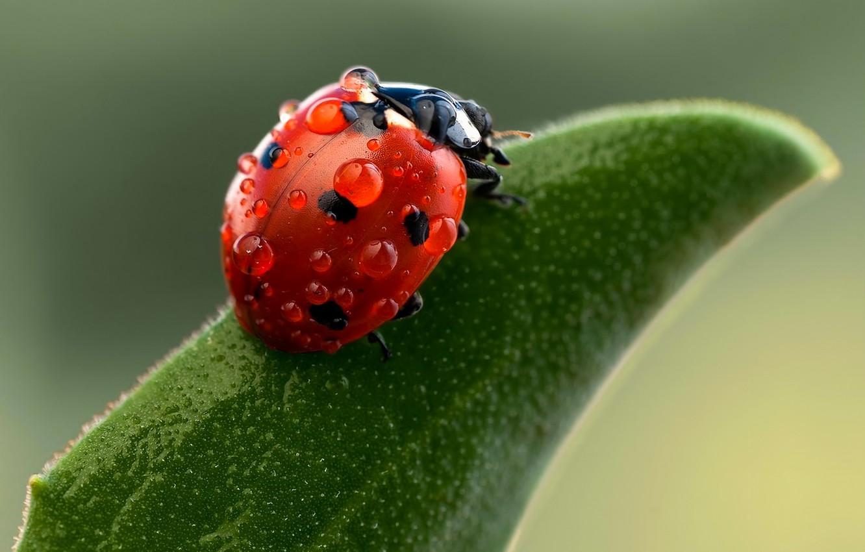 Photo wallpaper drops, macro, insects, nature, ladybug, green