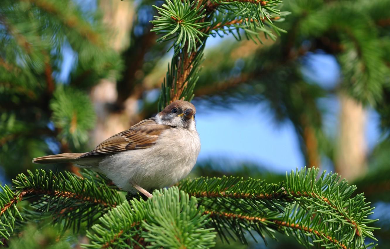 Photo wallpaper nature, bird, spruce, branch, Sparrow, sitting