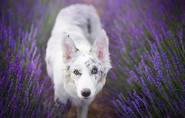 Photo wallpaper look, each, dog, lavender