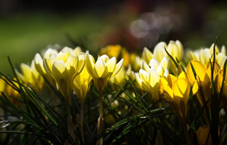 Photo wallpaper light, flowers, glare, yellow, crocuses, spring