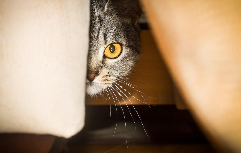 Photo wallpaper mustache, eyes, cat, breed, scottish straight, murzenko