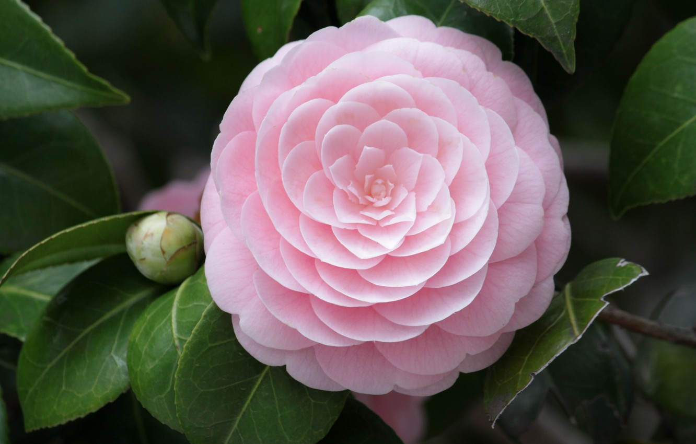 Photo wallpaper flower, macro, pink, petals, Camellia