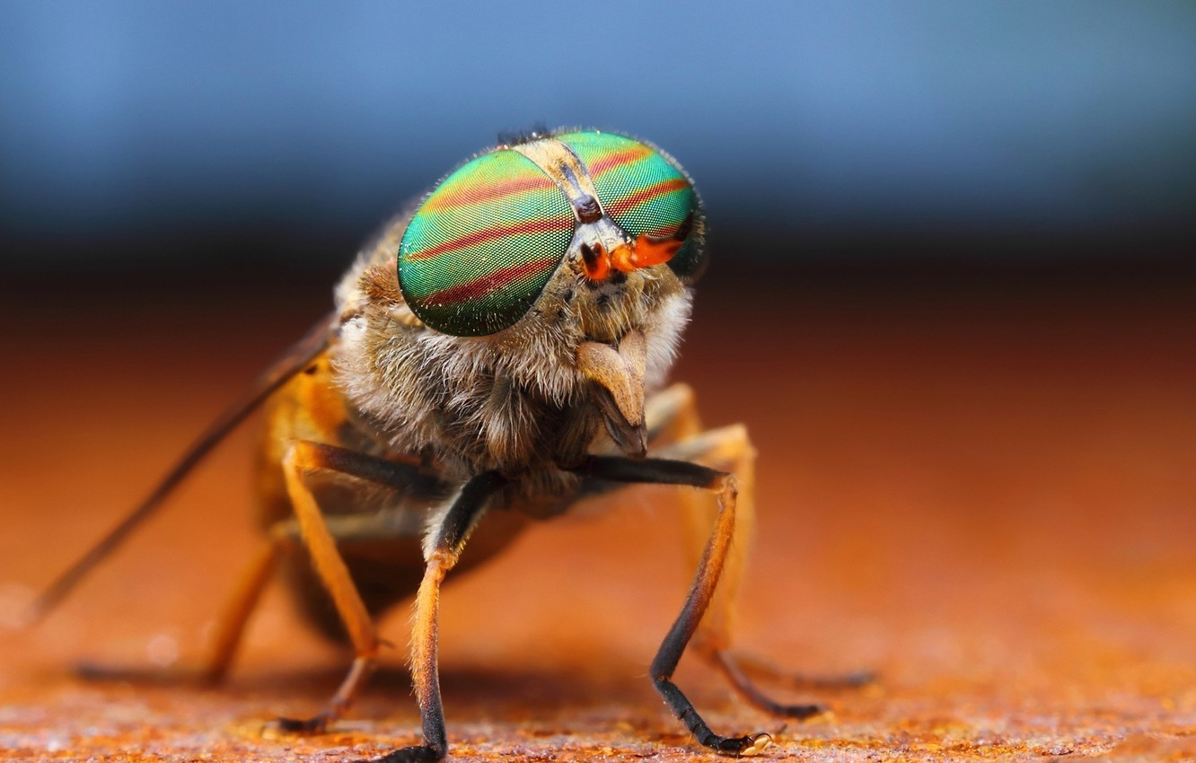 Photo wallpaper WINGS, PROBOSCIS, INSECT, EYES, LEGS, FLY