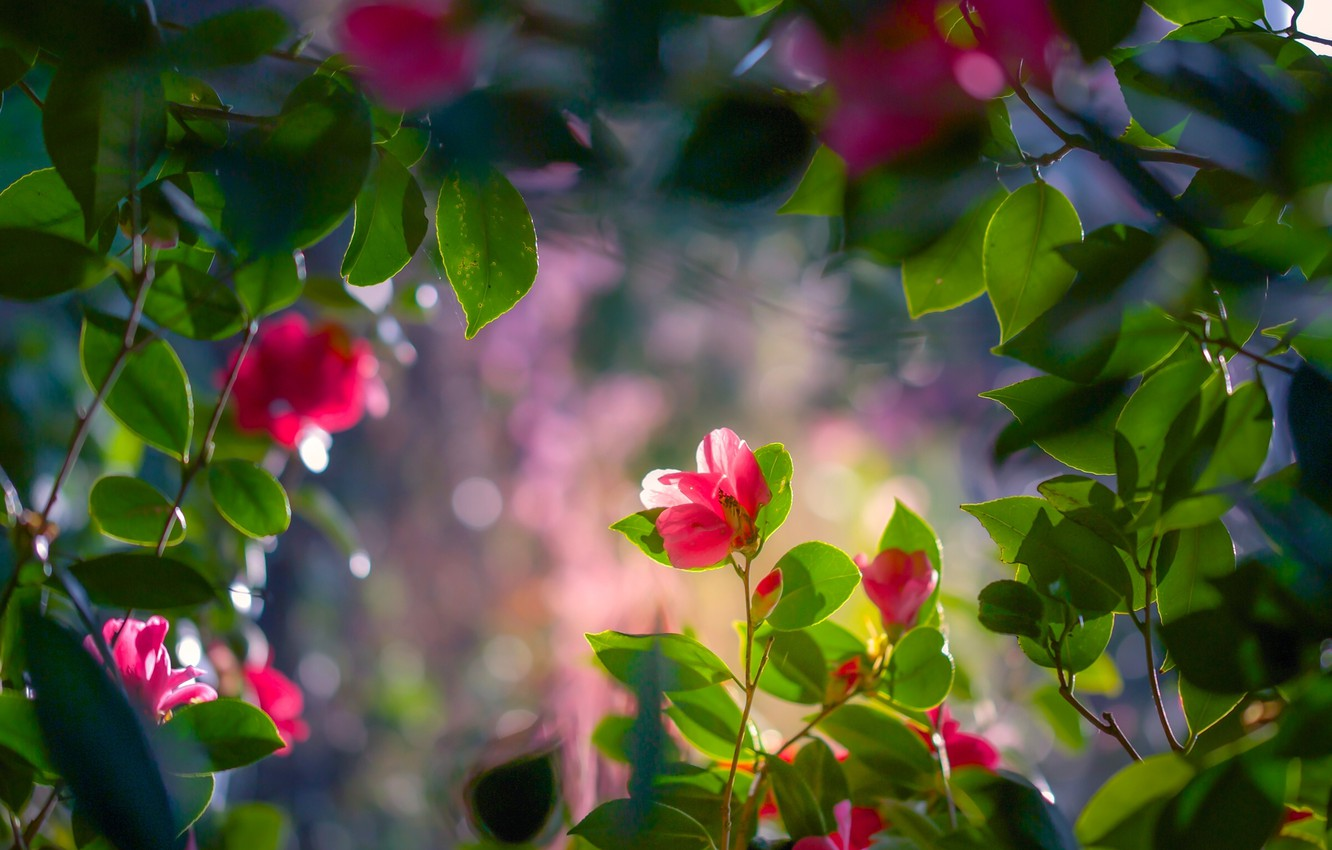 Wallpaper Flowers Camellia Branches Leaves Images For Desktop