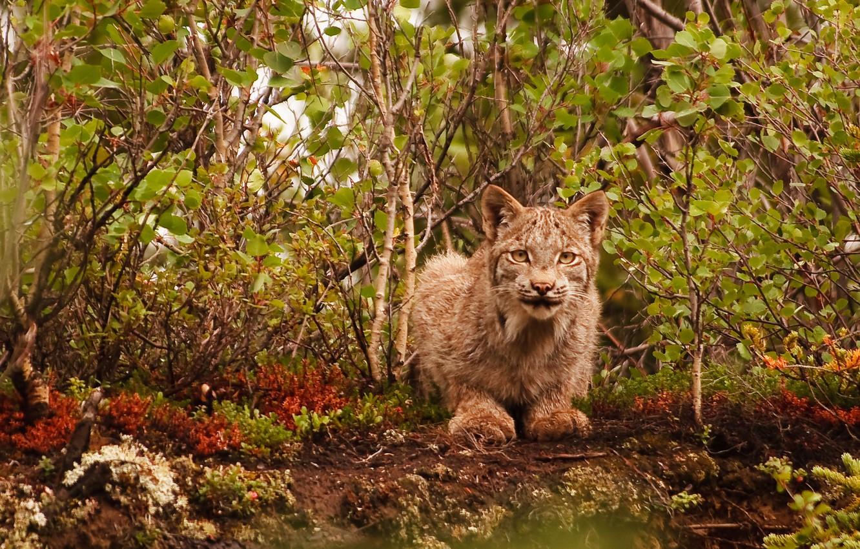 Photo wallpaper cat, wildlife, lynx